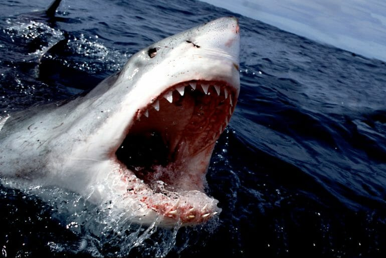shark with teeth