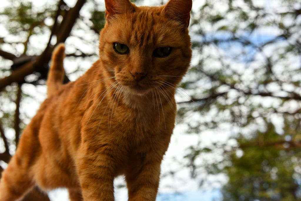 image description: an orange cat looks directly into the camera