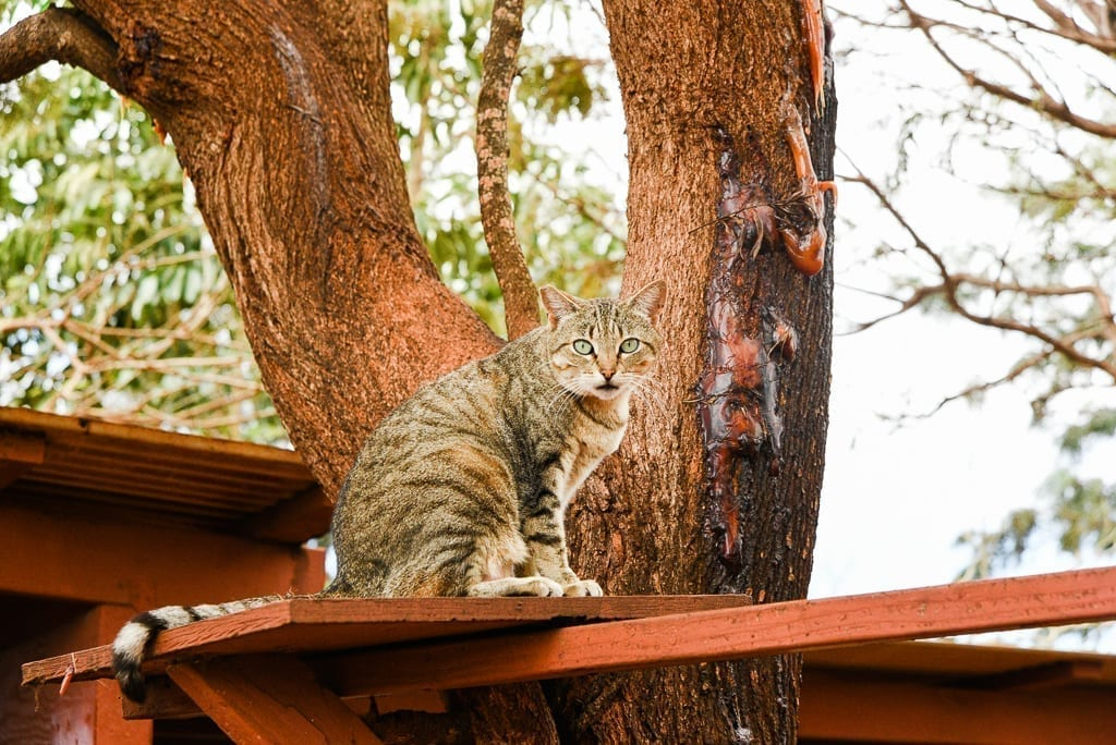 image description: a grey tabby cat sits on a plank of wood in a tree. the cat is looking at the camera