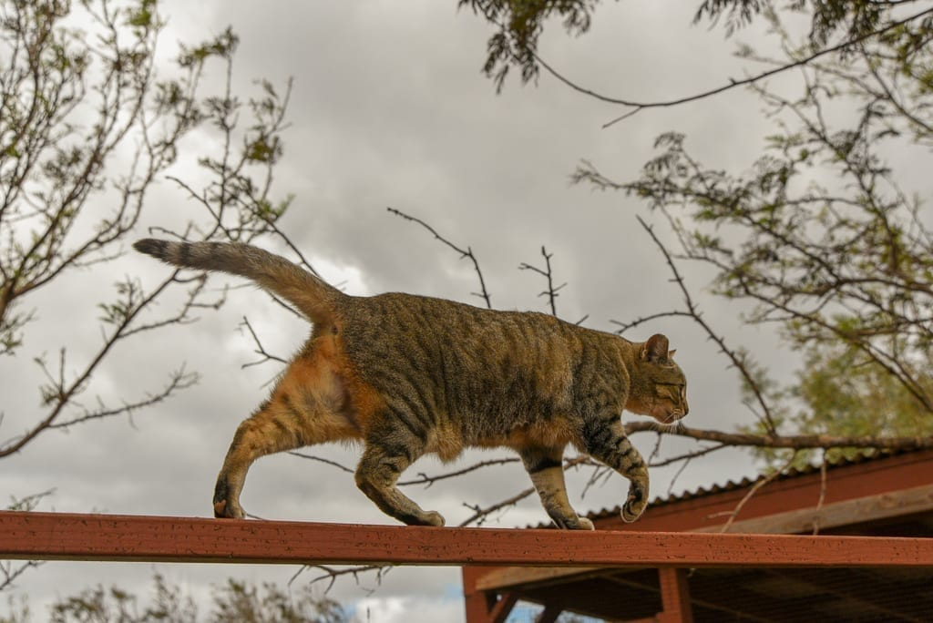 image description: a cat walks on a plank that links trees