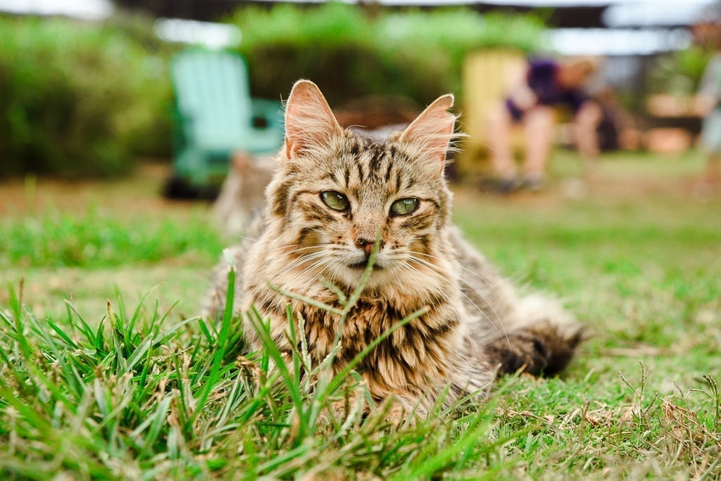 image description: a fluffy tabby cat looks into the camera