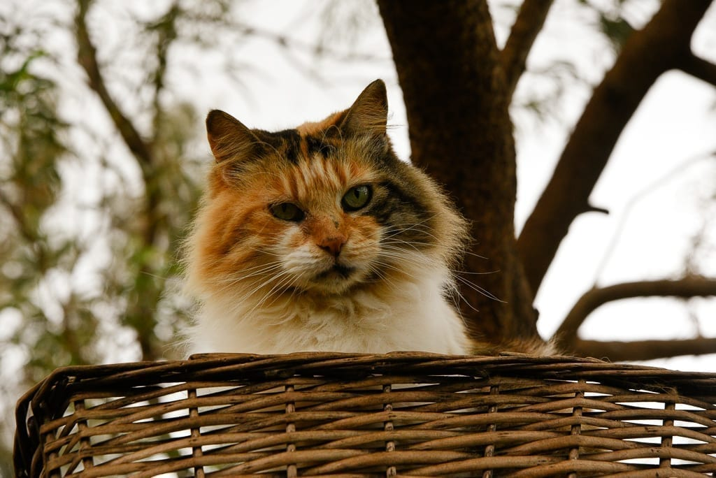image description: a fluffy mixed color cat in a basket in a tree looks at the camera