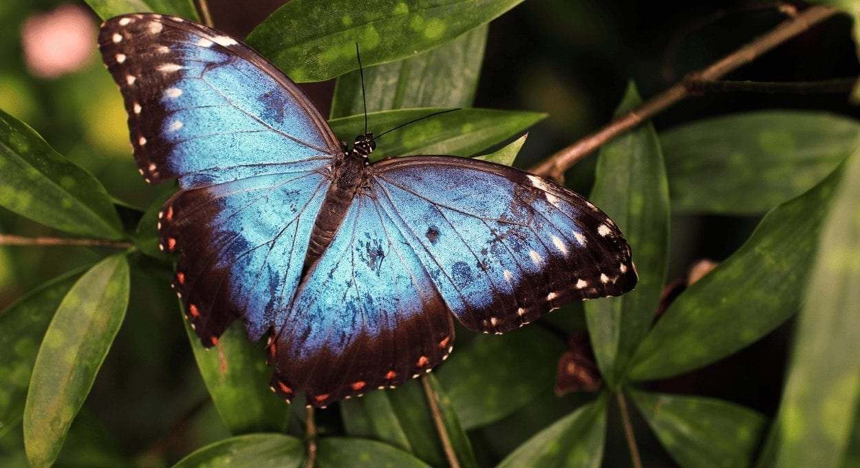 a blue butterfly: image of a blue butterfly on green leaf